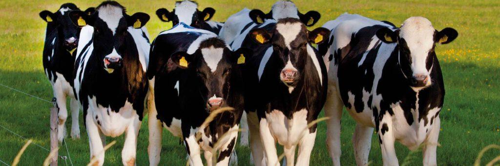 vergadering-koeien